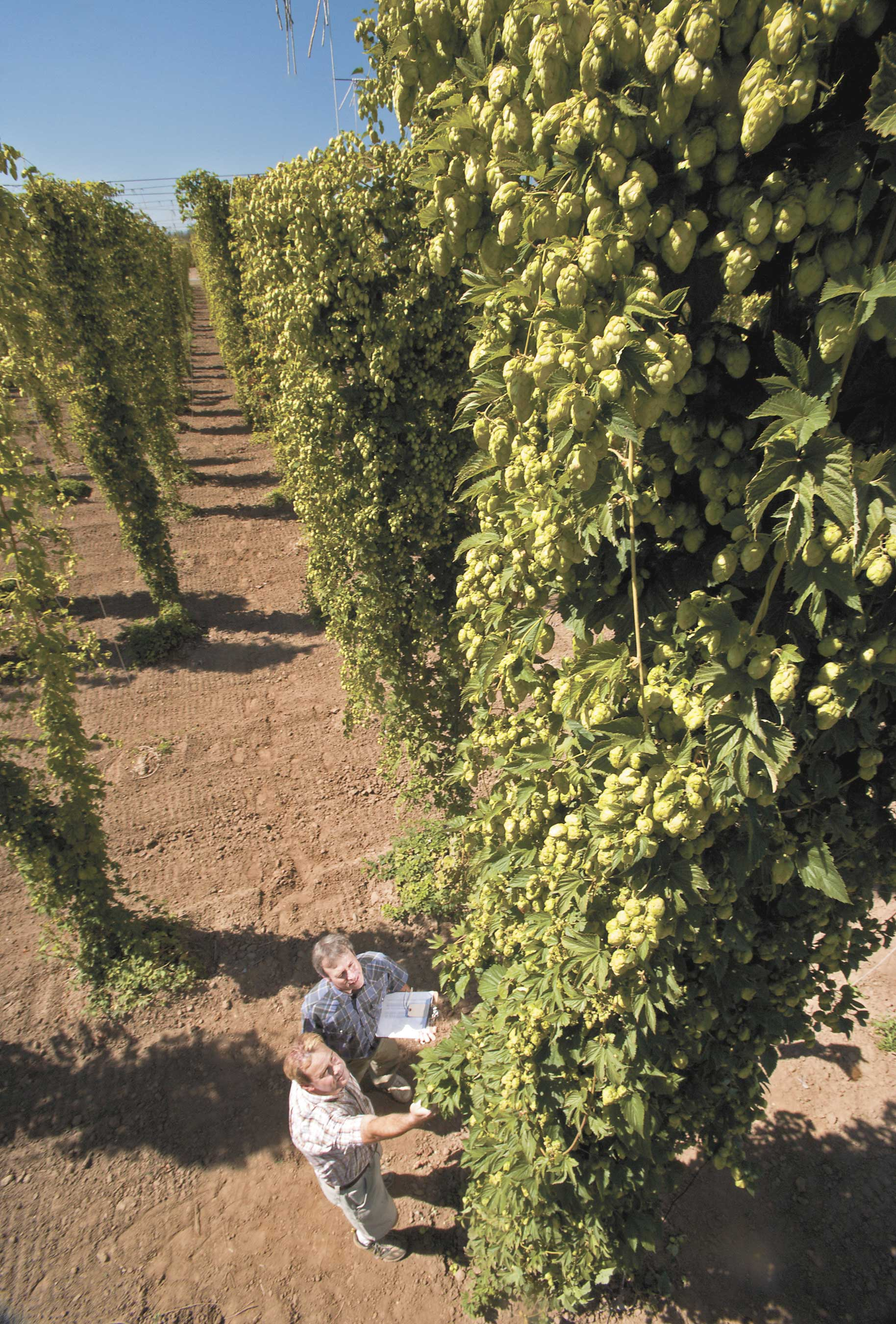 Economic considerations before planting hops - Wine and